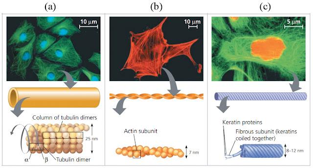sitoskeleton, sitoskeleton pdf, sitoskeleton ppt, sitoskeleton sel, sitoskeleton terdiri dari, sitoskeleton prokariotik, sitoskeleton pada sel prokariotik, sitoskeleton dan dinding sel, sitoskeleton yang menghubungkan dua kutub sel pada waktu sel membelah yaitu, sitoskeleton pada sel berperan dalam proses, sitoskeleton terdapat pada sel, sitoskeleton gambar, sitoskeleton jurnal, sitoskeleton dan sitosol, sitoskeleton adalah, artikel sitoskeleton, apa sitoskeleton, aktin sitoskeleton, sitoskeleton tersusun atas, filamen sitoskeleton adalah, sitoskeleton tersusun atas 3 komponen yaitu, sitoskeleton berfungsi, sitoskeleton biologi, sitoskeleton berperan dalam proses, sitoskeleton mempertahankan bentuk sel, sitoskeleton yang berfungsi pada mekanik dan angkutan, sitoskeleton pada sel berfungsi untuk, ciri sitoskeleton, contoh sitoskeleton, sitoskeleton dan motilitas sel, sitoskeleton dan fungsinya, sitoskeleton dibentuk oleh, sitoskeleton dalam sel, sitoskeleton dalam sel hewan, download sitoskeleton ppt, destruksi sitoskeleton, fungsi sitoskeleton dan komponen serat penyusunnya, fungsi sitoskeleton dan komponen penyusunnya, fungsi sitoskeleton dalam sel tumbuhan, sitoskeleton terbentuk dari, sitoskeleton terbentuk dari tiga jenis serabut, keterlibatan sitoskeleton dalam proses pembelahan sel, gambar sitoskeleton dalam sel, fungsi sitoskeleton dalam pembelahan sel, fungsi sitoskeleton dan komponennya, sitoskeleton pada eukariotik, sitoskeleton pada sel eukariotik