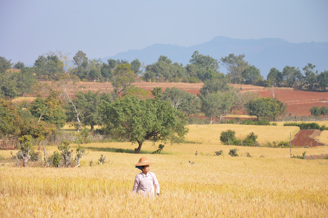 Paysanne dans un champ de blé