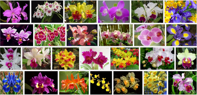 Orquídea (Cymbidium, Dendrobium e Odontoglossum)