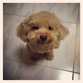 My Pet Red Toy Poodle