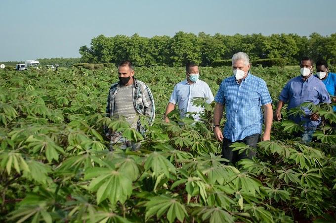 Revisa Miguel Díaz-Canel producción de cannabis en el centro del país