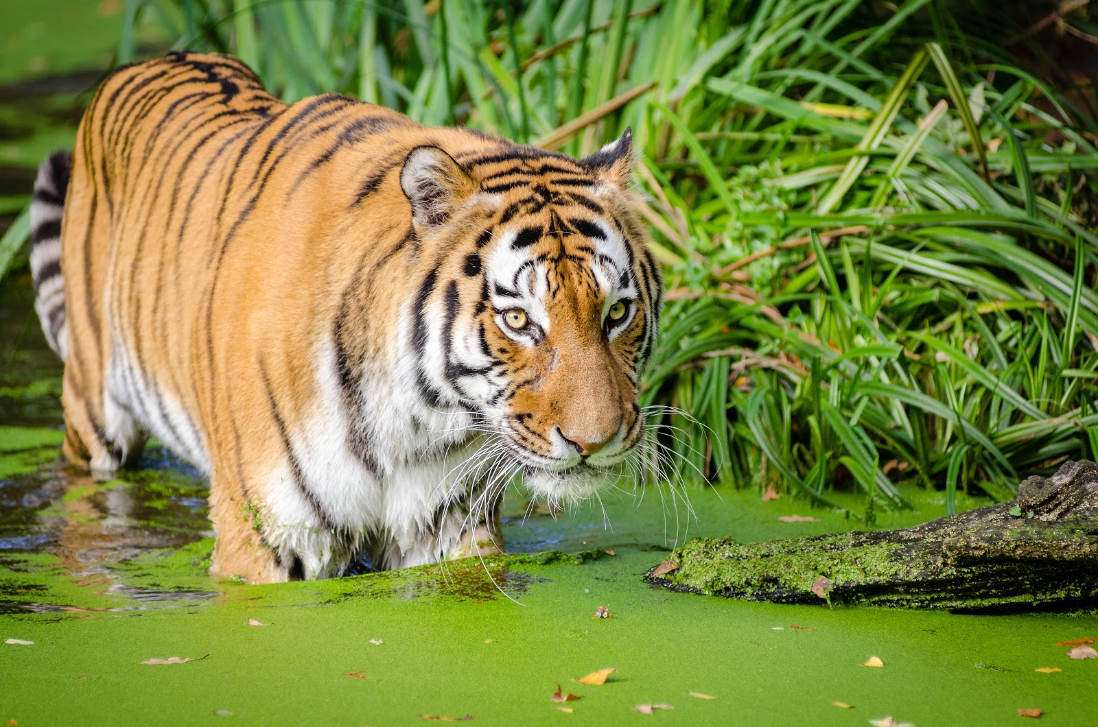 tiger-walking-on-pond-near-plants-pictures