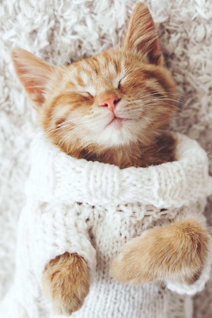 Extra cute cat wearing a sweater