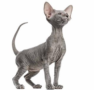 Peterbald kucing tanpa bulu ras terbaik