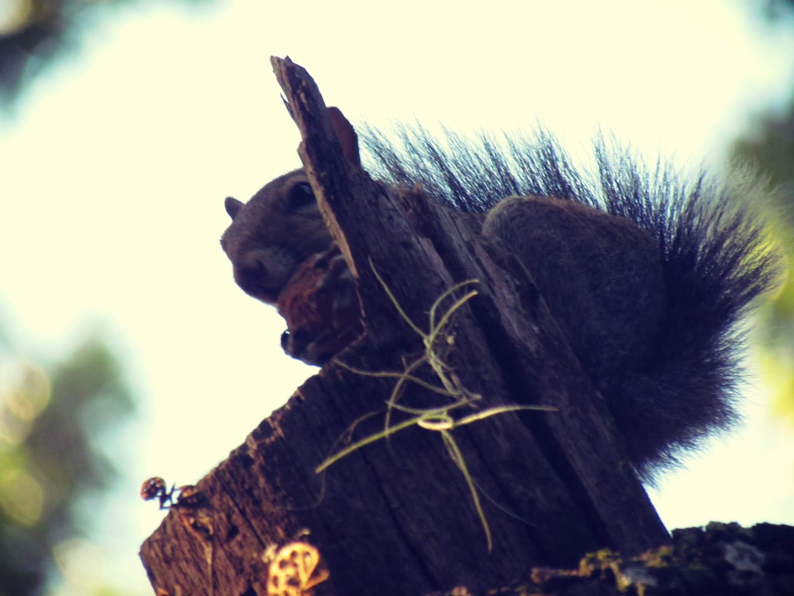 A woodland squirrel high up in an oak tree foraging acorns on a branch in Florida