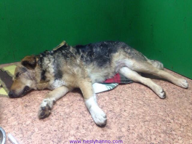В дружелюбную собаку стреляли множество раз, но она не уходила из деревни