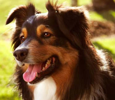 Sporotrichosis Bacterial Fungi in Dogs