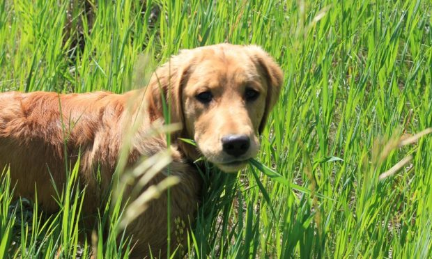 Why dogs eat grass?