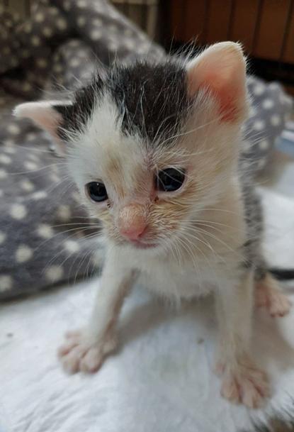 black-and-white kitten