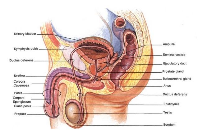 Anatomi dan Fungsi Organ Reproduksi Pria Lengkap