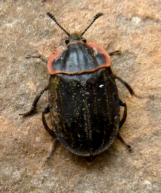 Red Deer Dump >> Springfield Plateau: Carrion Beetle