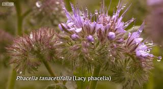 Lady Phacelia.