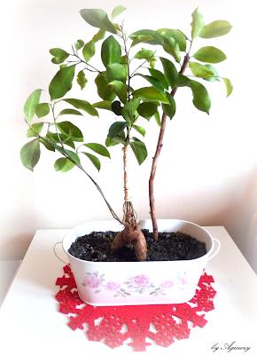 Figowiec tępy, Ficus microcarpa, Ficus retusa