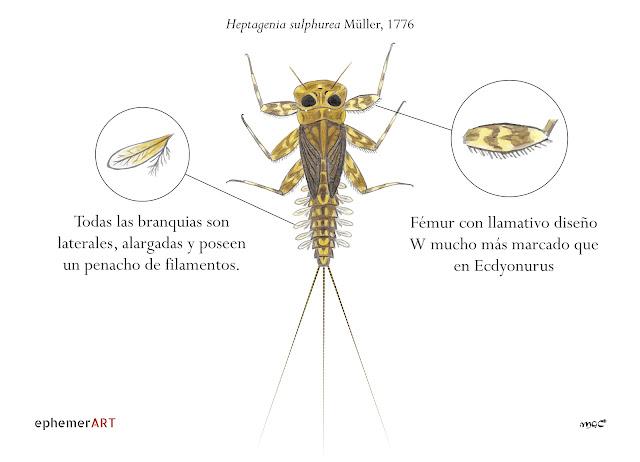 Heptagenia%2Bsulphurea%2Bninfa - Heptagénidos: como diferenciar géneros