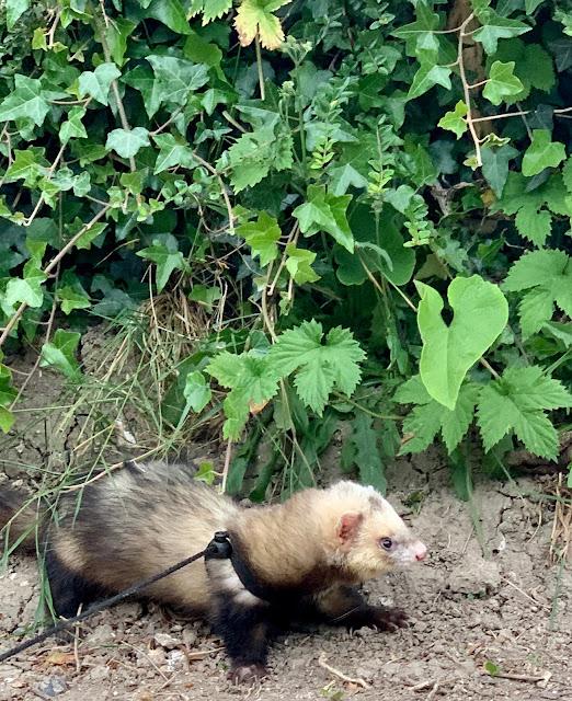 ferret walking on leash
