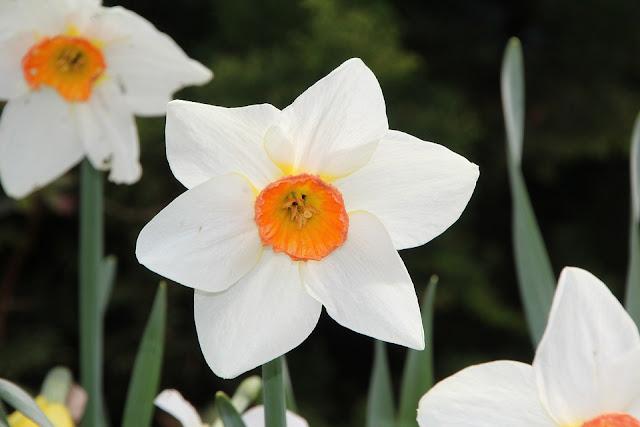 hoa thủy tiên đẹp nhất thế giới 6