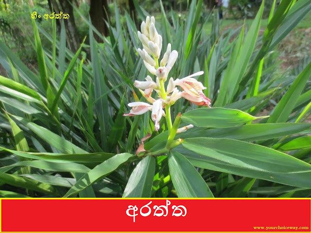 අරත්ත (Araththa - Alpinia sp.) - Your Choice Way