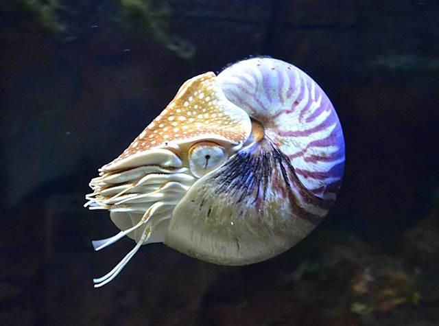 Nautilus, Hewan Laut Penghuni Bumi Sebelum Pohon Dan Dinosaurus Ada