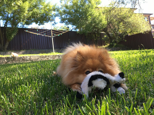Tiger is lying on the grass in the sun, with his muzzle under a black-and-white cow toy.
