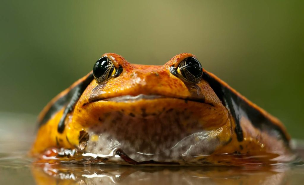 Frogs and toads are included in the class Amphibia