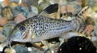 Jenis Ikan Corydoras acutus