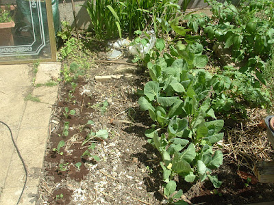 Photo of a small vegetable bed with two rows each of young cabbages and broccoli seedlings