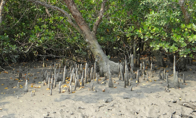 সুন্দরবন ,mangrove forest,pneumetafor,species,tree