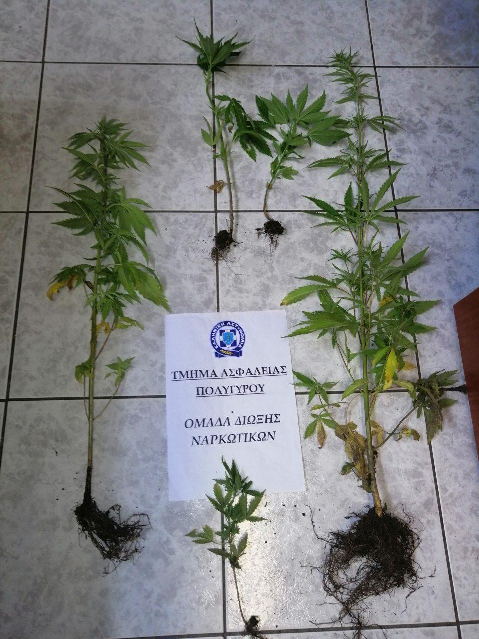 Καλλιεργούσε κάνναβη δίπλα από το σπίτι του στη Χαλκιδική