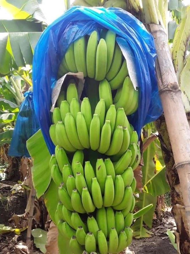 Bibit pisang unggul cavendish cj40 bonggol anakan dongkelan WISATA AGROTANI Bekasi