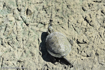 Mascle de tortuga d'estany (Emys orbicularis)