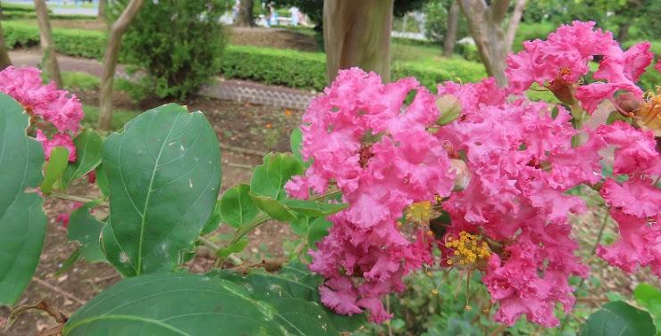 大きく咲いたサルスベリ