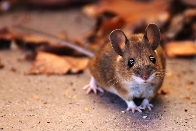 mice vegans excuse