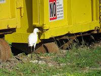 Cattle egret near garbage container, Ala Moana Park, Oahu - Dec. 14, 2018, © Denise Motard