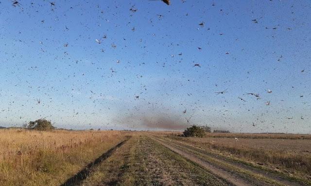 BRASIL: Nuvem de gafanhotos está próxima do Rio Grande do Sul