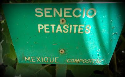 Cineraria petasitis, Cineraria platanifolia,  Senecio lobatus, Senecio petasioides,  Senecio prainianus.