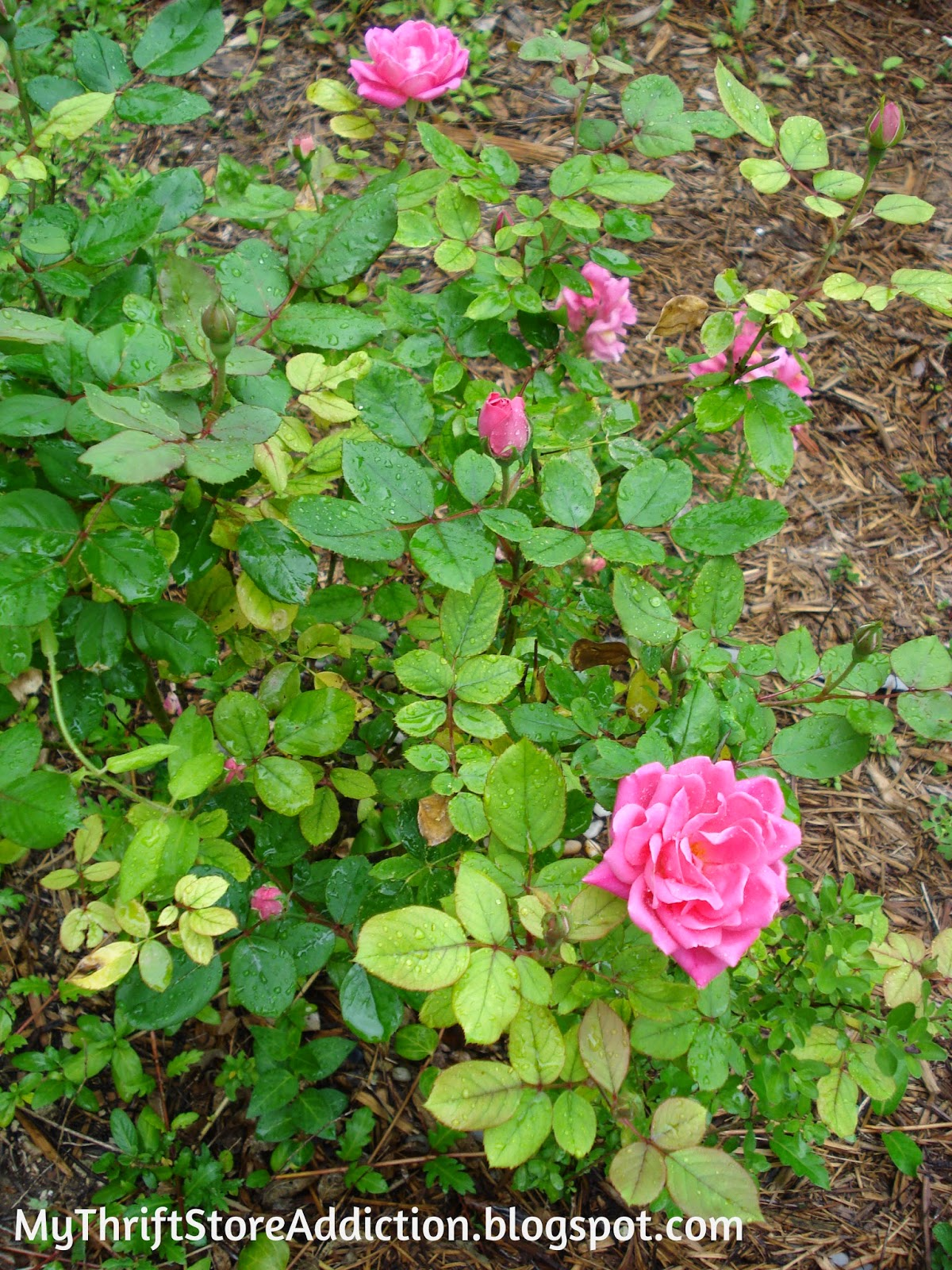 Roses In Garden: My Thrift Store Addiction : May Flowers: Low Maintenance Roses