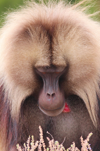 close-up of a gelada highland baboon also known as a bleeding heart baboon in the simien mountains in ethiopia