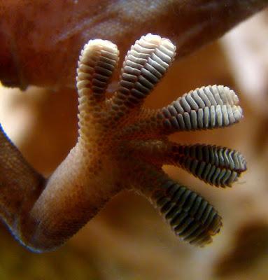 Ciri Khusus Cicak Kaki lengket dan Fungsinya