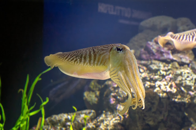 Cuttlefish at the New England Aquarium