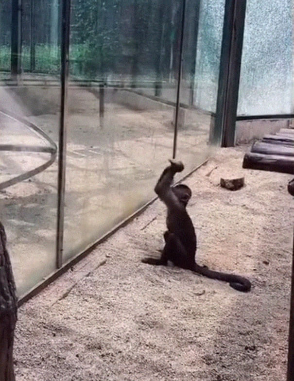 Monkey In Zoo Sharpened A Rock And Used It To Shatter Its Glass Enclosure