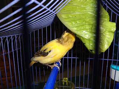 Το μαρουλι αρέσει στα πουλιά αλλά δεν κάνει να τρώνε πολύ