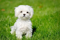 White Maltese Dog puppy