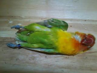 lovebird mati