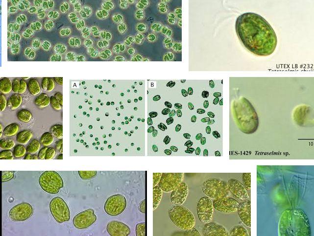 Jenis Fitoplankton