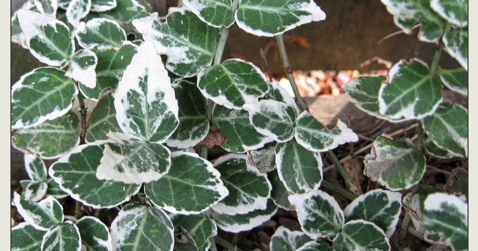 euonymus scale how to get rid of