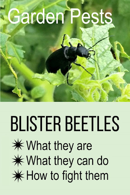 How to fight blister beetles in the organic garden