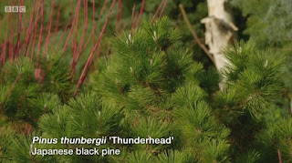 Japanese Black Pine.