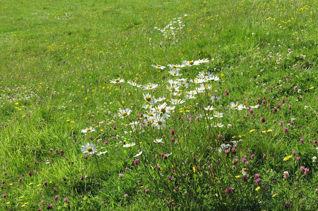 Close-up of a hay meadow and various wildflowers - tall ox-eye daisies, regular daisies, buttercups and pink clover.
