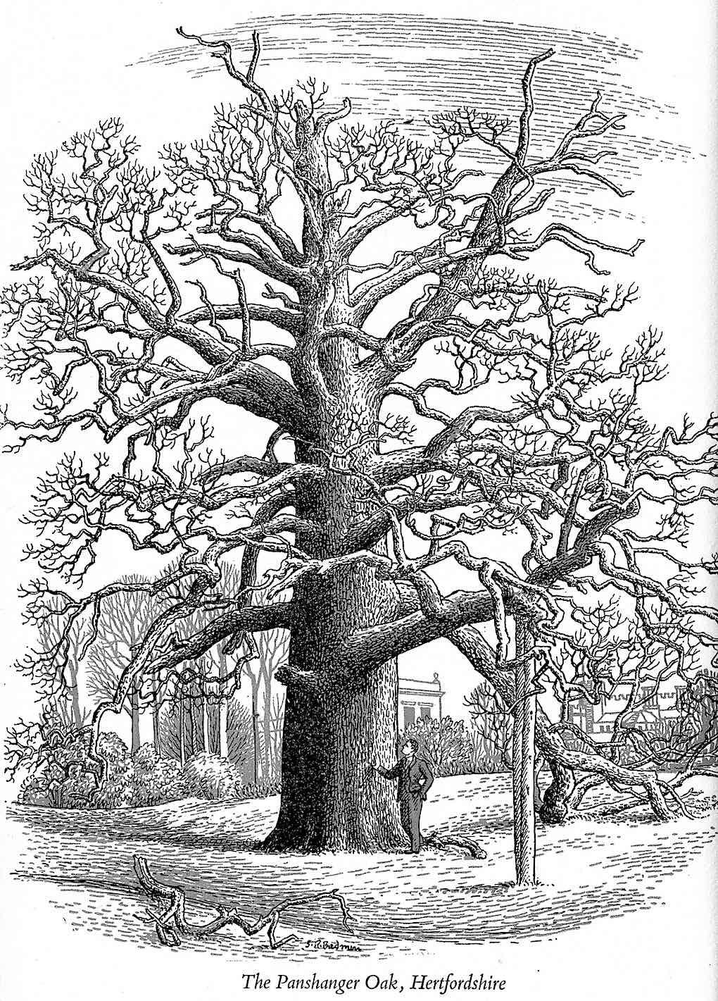 an S.R. Badmin 1952 illustration of an old tree, The Panshanger Oak Hertfordshire