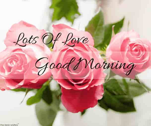 morning roses images